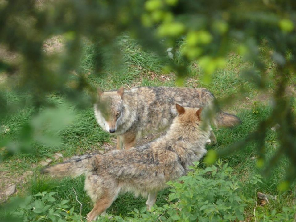 Hundert Wölfe